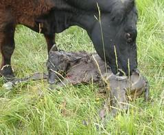 2010-06-21_Birth of a Calf (Mark Burr) Tags: summer spring cows birth fields farms calves
