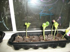 Baby Pumpkin Plants