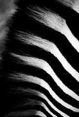 graZing. (Prabhu B Doss) Tags: blackandwhite bw abstract zoo nikon fineart zebra karnataka mysore d80 prabhub prabhubdoss zerommphotography 0mmphotography