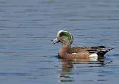 IMG_4172 The Happiest Duck on the Lake, Balboa Park, Encino, CA (Ashala Tylor Images) Tags: lake water duck balboapark encino wigeon anasamericana baldpate americanwidgeon
