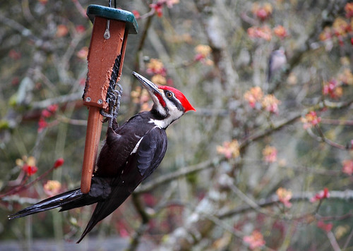 pileated woodpecker and downy woodpecker 2