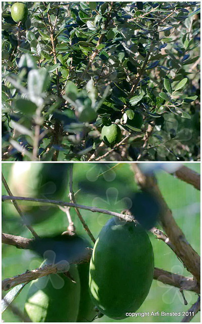 Feijoas in the orchard