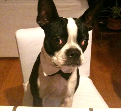 Lost Boston Terrier Venice Beach