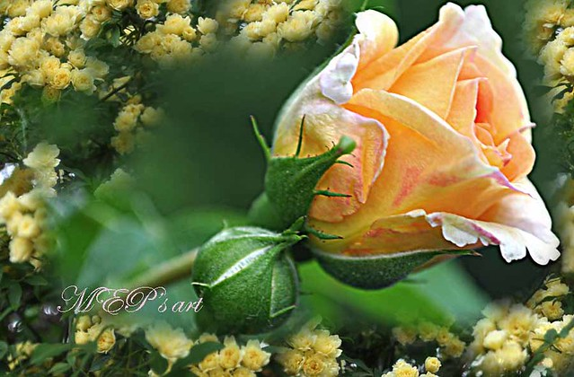 a yellow rose for all  my Friends