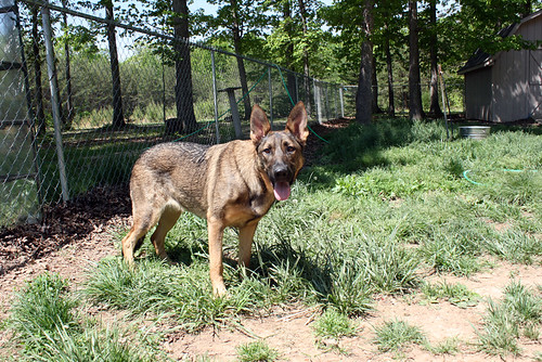 Zille, a sable German Shepherd, stands with her body in three-quarters profile to the camera and her face turned full on toward it.  She has a huge goofy smile.  We will ignore the overgrown grass and focus on the lovely dog.