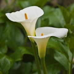 calas (zantedeschia aethiopica) (R.Duran) Tags: flower nikon flor cala d300 ltytr1 nikkor105mmf28gvrmacro