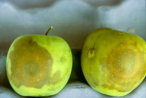 Golden Delicious fruit infected by the white rot fungus. Photo courtesy of James W. Travis, Penn State University.