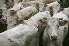France, Picardie, baie de Somme, Morlay (D940) : les gnisses. ((vincent desjardins)) Tags: countryside kuh cow ko mucca campagne vache vaca koe lehm heifer krowa troupeau  b kr