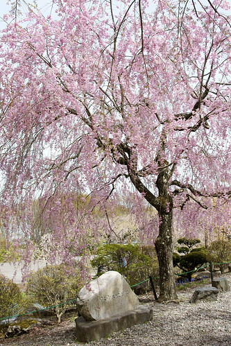 Weeping Cherry of Kozenji Temple