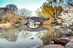 Central Park (series of photos) (Violet Kashi) Tags: nyc bridge trees lake newyork reflections cherry spring pond centralpark manhattan blossoms ducks lightroom gapstow