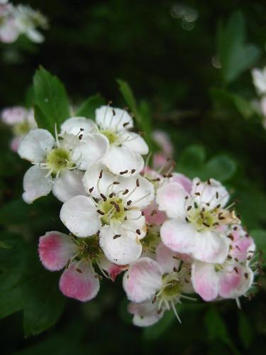 Pretty hawthorn blossom