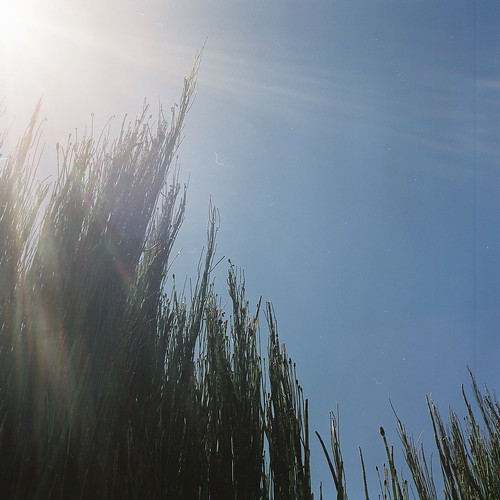 bamboo grass in the sun
