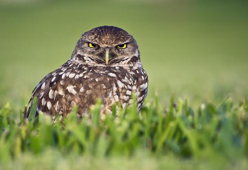 Owl 5 - Angry Bird