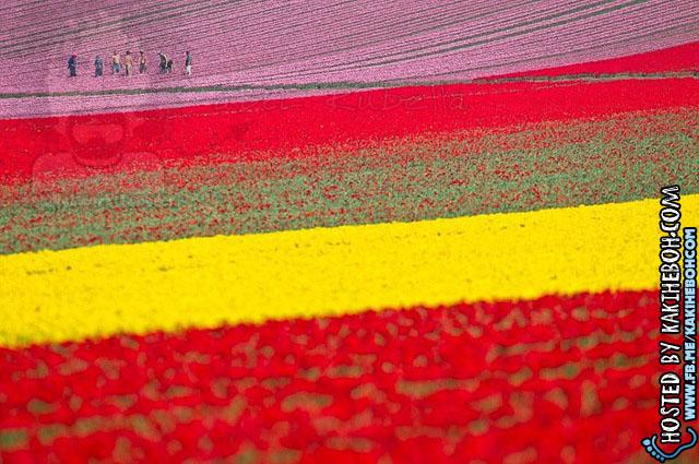 tulipsbloomHolland4