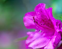 azalea (ehpien) Tags: usa canon maryland azalea bethesda img8327 5dmkii 100mmf28macrois day125365 05may2011