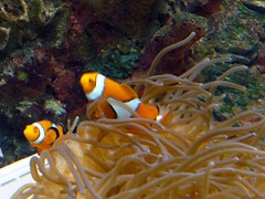 I found Nemo! (1987porsche944) Tags: md nemo maryland baltimore clownfish anemone innerharbor nationalaquarium p1060459