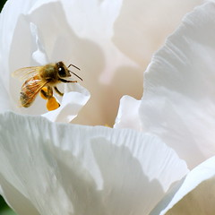 bee (aokcreation - part-time) Tags: white flower color macro nature animal closeup garden insect botanical blossom wildlife ngc bee naturesfinest beautifulexpression sony350 awesomeblossoms beautifulmonsters