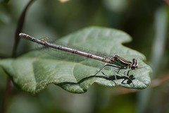 ?White legged damselfly
