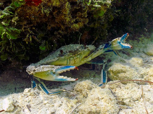 Blue Crab: Mile Marker 35 Horse Shoe Quarry, Spanish Harbor Key