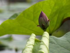 lotus (ddsnet) Tags: plants lotus sony cybershot aquatic aquaticplants        cybershor  plants  aquatic hx100v