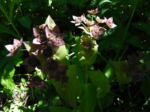 Buplèvre à longues feuilles=Bupleurum longifolium - Bellevaux 074