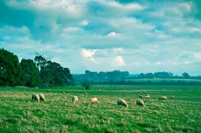 Longford Sheep