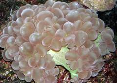 Bubble coral