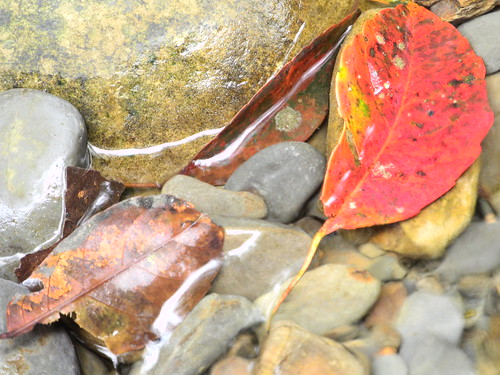 Leaf in the Stream  (by Queenie)