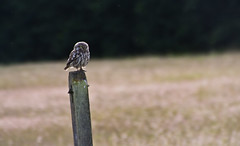 Little Owl (Thomas-Harris) Tags: uk sunset england sun bird reed nature birds animals tom coast geese ray little pheasant thomas wildlife flock meadow lizard seal short brent merlin kingfisher owl environment harris common hen essex egret kestrel sparrowhawk harrier peregrine bunting eared pipit whinchat buzard tomharris thomasharris wildlifecameraaction