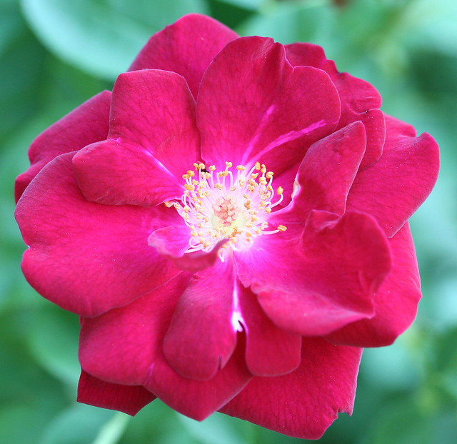 iceberg rose that has come up raspberry color