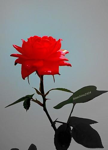 Rosa roja para amar.