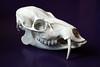 Hydropotes inermis [EXPLORE] (La fille renne) Tags: skull explore curio wunderkammer crâne osteology chinesewaterdeer hydropotesinermis hydropote cerfdeau