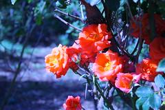 Blue Roses (Grafiacara) Tags: blue roses israel jerusalem rosen rosas azules blaue