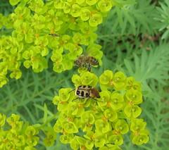 It's a bug's life (langkawi) Tags: green colors id insects bugs bee grn langkawi farben scarabe naturesfinest trichiusfasciatus toninton penseelkever beebeetle trichiefascie stelldichein gebndertepinselkfer