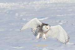 Flight line (Seventh day photography.ca) Tags: winter snow ontario canada bird flying ottawa flight raptor owl birdofprey snowyowl