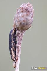 Larval Remains II (Dom Greves) Tags: uk insect spring wildlife surrey lepidoptera caterpillar april grassland larva invertebrate calcareousgrassland