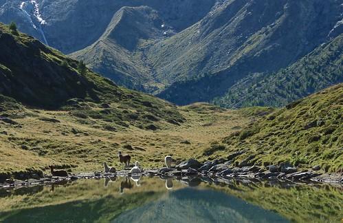 les lamas du lac d'Arpitettaz
