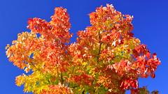 Crown of Color (09 24 2016) (PhotoDocGVSU) Tags: fall autumn autumn2016 fallcolor canon5d3 sigma50500os bigma polarizer westmichigan middlevillemi colorful maple