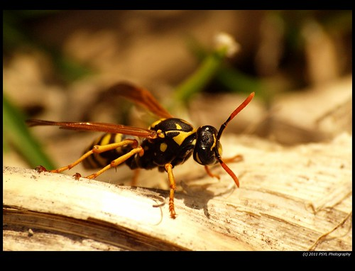 Unidentified Wasp