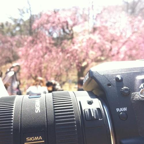 枝垂れ桜が咲いてたよ。染井吉野は全然