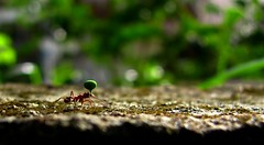 They call me the working ant (Diego S. Mondini) Tags: dof ant formiga boket