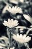 recesses of my mind! (puthoOr photOgraphy) Tags: flowers mono crossprocess macroshot qatar lightroom flowermacro d90 macroflower adobelightroom tokina100mm28 tokina100mmf28atxprod lightroom3 imagicland puthoor gettyimagehq