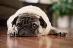 [フリー画像] 動物, 哺乳類, イヌ科, 犬・イヌ, パグ, 201104091100
