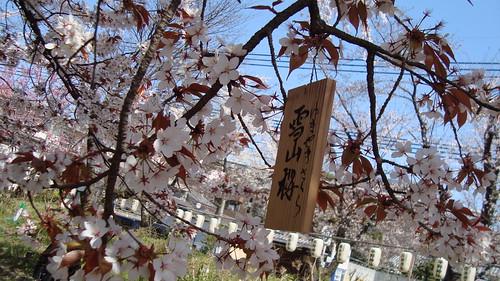2011/04 平野神社 #07