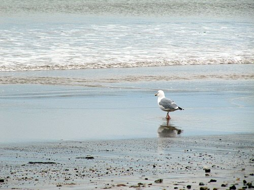 Dancing seagull at Swanage