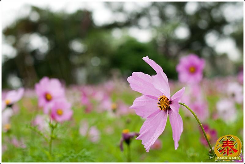 2011-03-26-台大杜鵑花 (7)