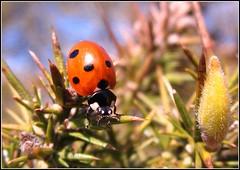 7 Spot Ladybird -(Coccinella 7-punctata) (CAMRA Man ... (Busy Busy Busy)) Tags: rural canon spring bush colours ngc bugs cumbria views picnik h20 gorse longtown northcumbria nbw 7spotladybird natureplus naturewatcher smarthair naturesgreenpeace mygearandme
