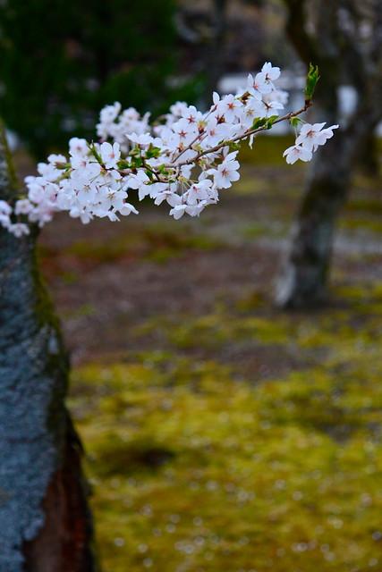 京都南禅寺の桜と苔