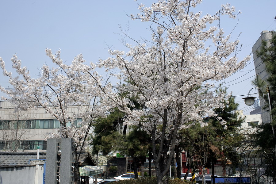 Sakura(2)