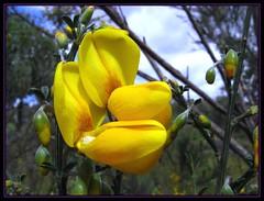 Flor de Escoba (Julio Codesal) Tags: macro flor pueblo amarillo julio frontera par codesal raia escoba retama laalbergueradeargan juliocodesal